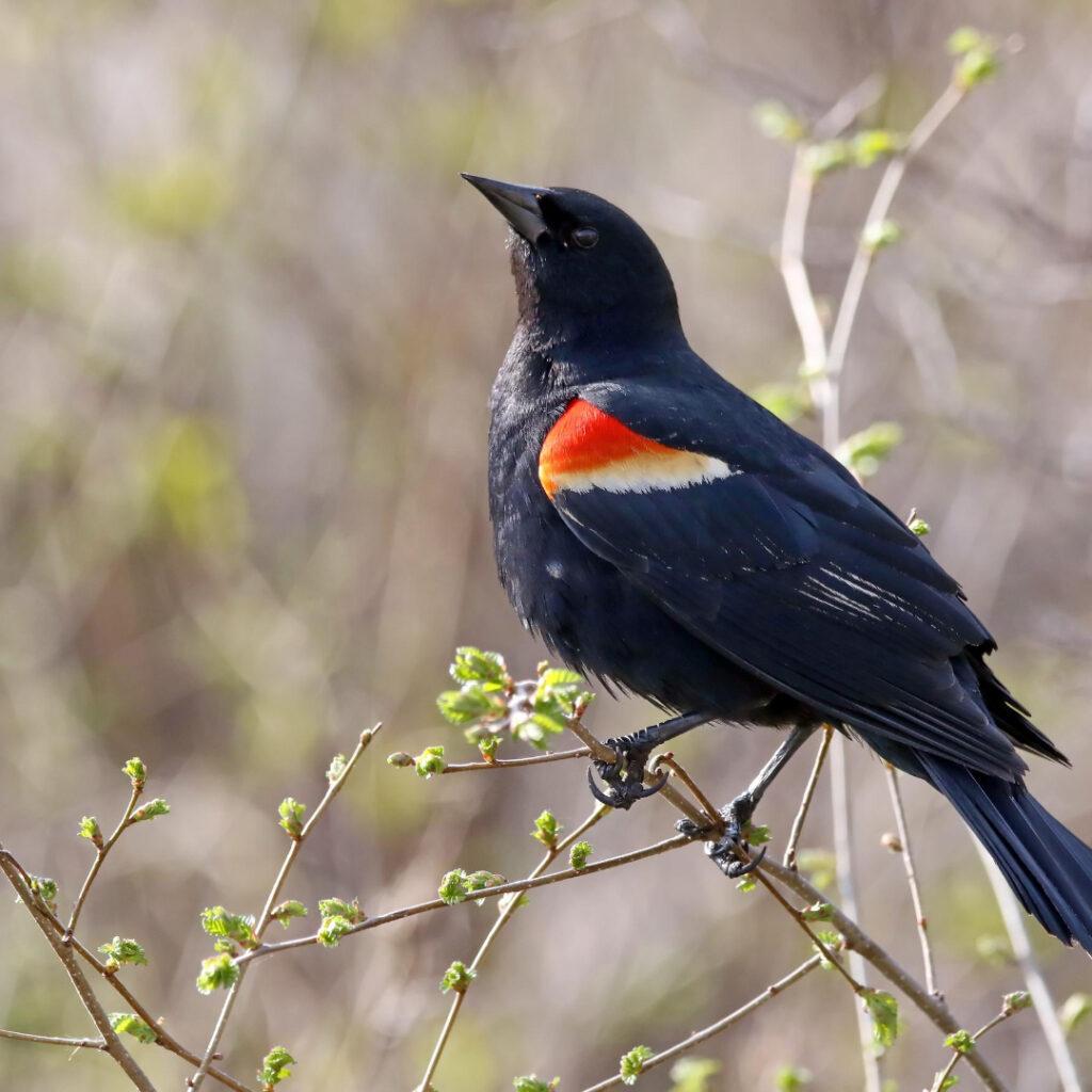 Tricolored Backbird