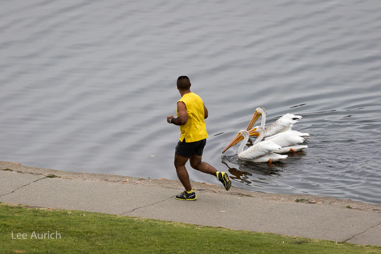 Jogger passing a group of White Pelicans at Lake Merritt