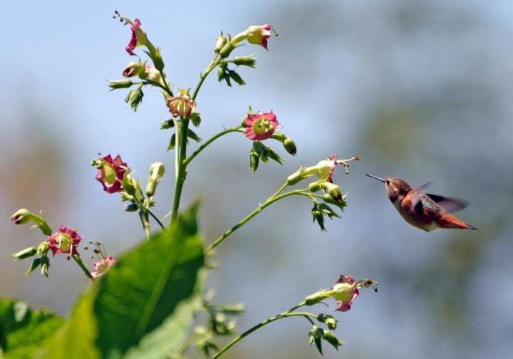 Allen's Hummingbird feeding on Nicotiana tomentosiformis in the South American Area