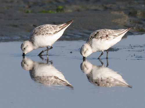 Sanderlings feeding at the water's edge / Photo by Bob Lewis