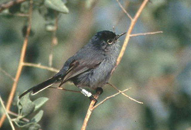 California Gnatcatcher / Photo by B. Moose Peterson/U.S. Fish & Wildlife Service
