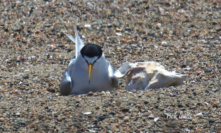 Least Tern in Alameda by Rick Lewis