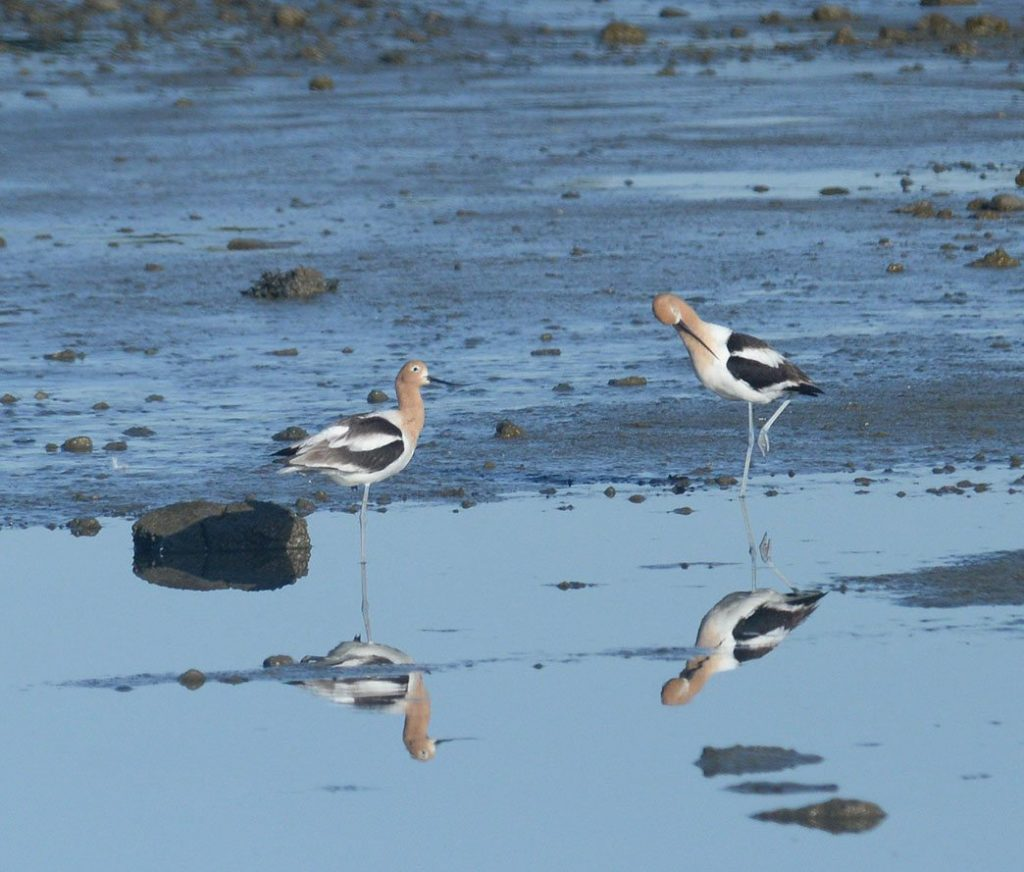 American Avocets during the Pier 94 BioBlitz