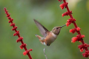 Allen's Hummingbird by Bob Gunderson