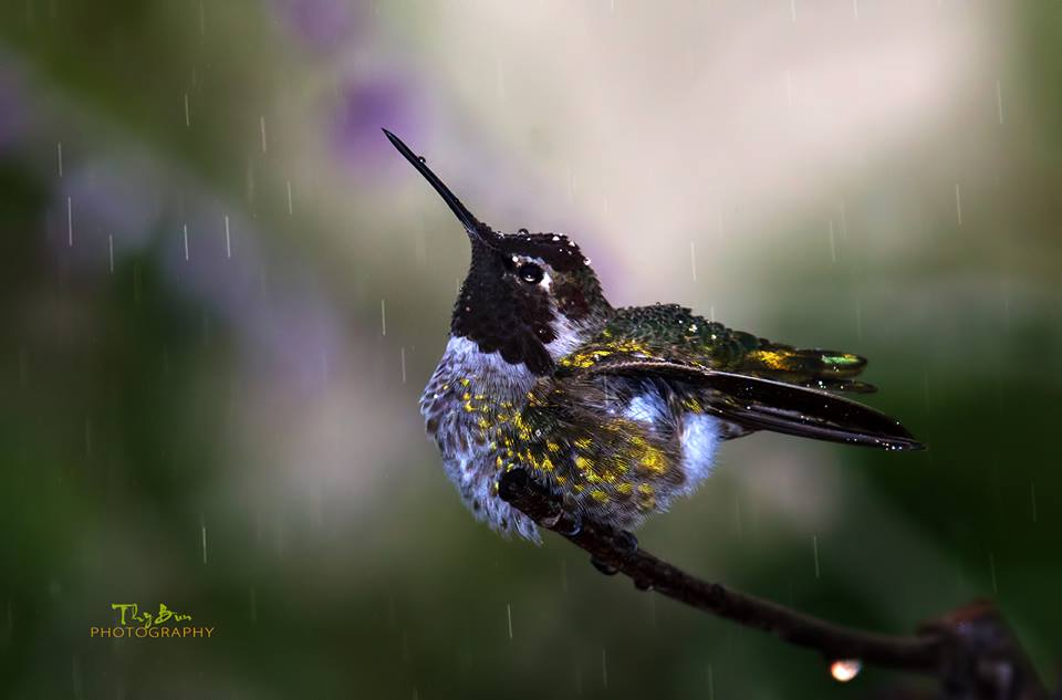 Anna's Hummingbird in the rain / Photo by Thy Bun, www.flickr.com/photos/wephotoyou/