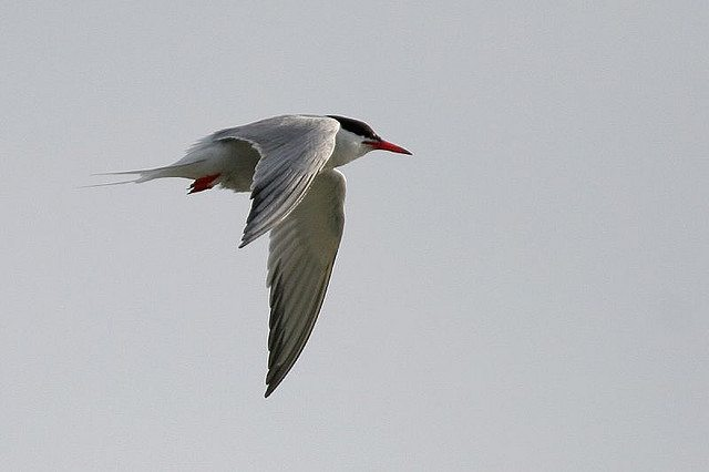 Arctic Tern: Note the black edging on the wing. Photo by Bob Lewis.