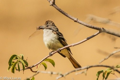 Ash-throated flycatcher with dragonfly / Photo by Miya Lucas