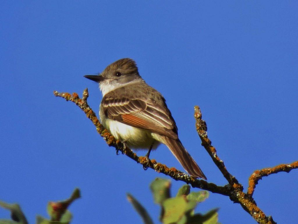 Ash-throated Flycatcher at Mitchell Canyon, by David Assmann