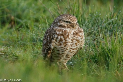Burrowing Owl in Cesar Chavez Park in February 2016, by Miya Lucas