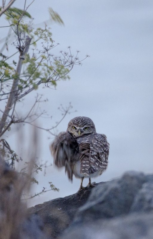 Burrowing Owl by Doug Donaldson