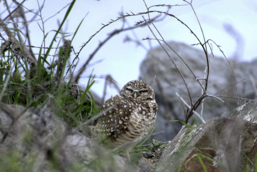 Burrowing owl at Cesar Chavez Park in February 2016, by Doug Donaldson