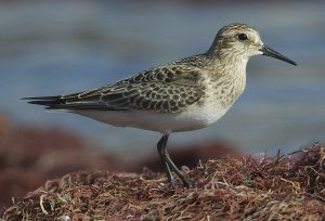 Baird's Sandpiper by Mark Rauzon