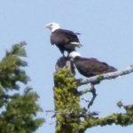 Bald Eagles nest at Stevens Creek Reservoir