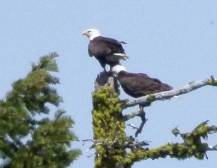 Bald Eagles after copulation by Harry Fuller