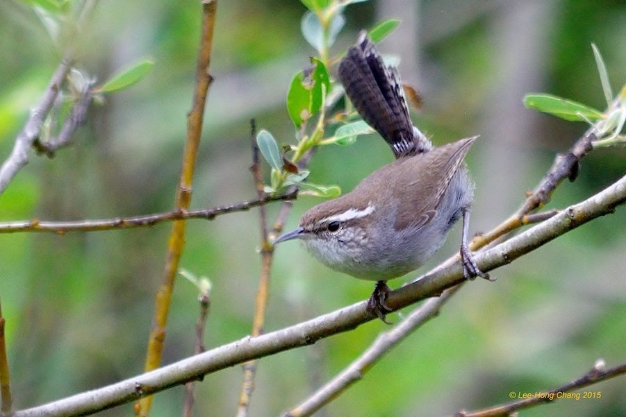Bewick's Wren in Glen Canyon Park, by Lee Hong Chang