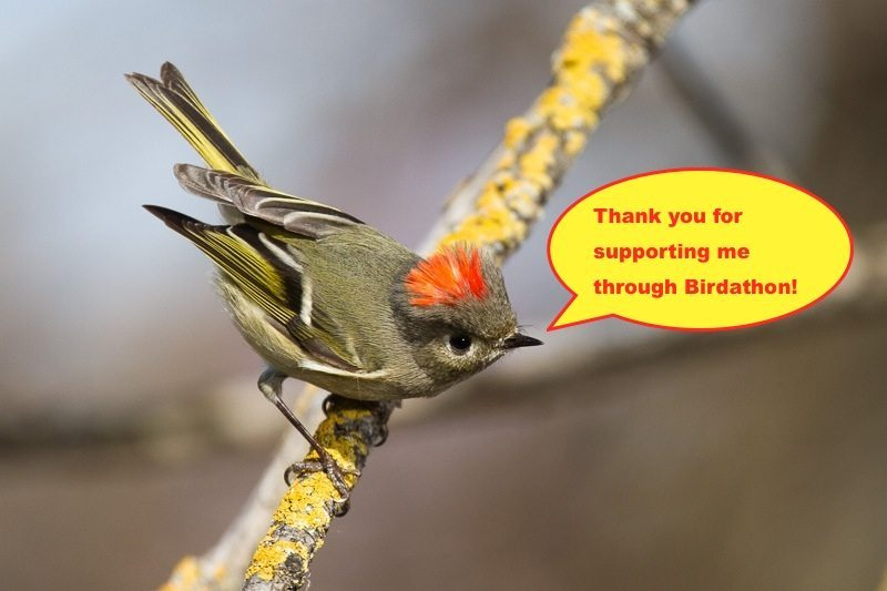 Ruby-crowned Kinglet by Bob Lewis