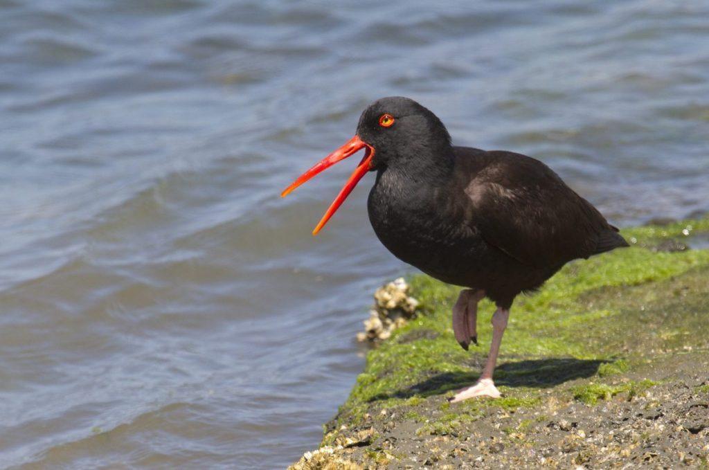 Black Oystercatcher, a species that relies on rocky waterfront like the area around Sutro Baths for nesting / Photo by Rick Lwwis