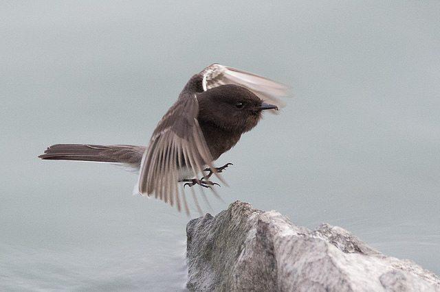 Black Phoebe landing on a rock by Bob Lewis