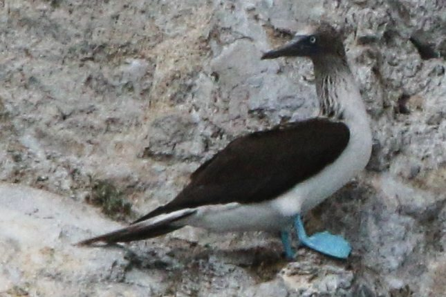 Blue-footed Booby by Alvaro Jaramillo