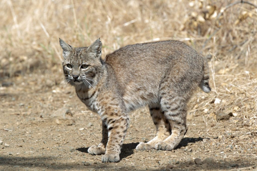 Bobcat in Mitchell Canyon, by Joe Saba