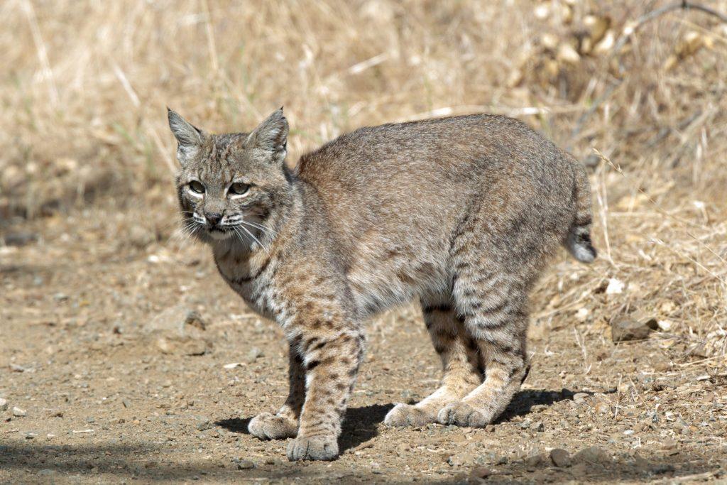 Bobcat in Mitchell Canyon, by Joe Saba