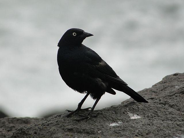 Blackbird Fly Off Of My Horse Trailer Golden Gate
