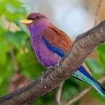 Broad-billed Roller / Photo by Bob Lewis