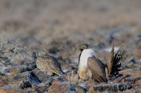 Sage-grouse pair