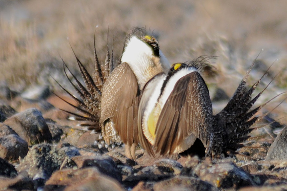 Two male Sage-Grouse