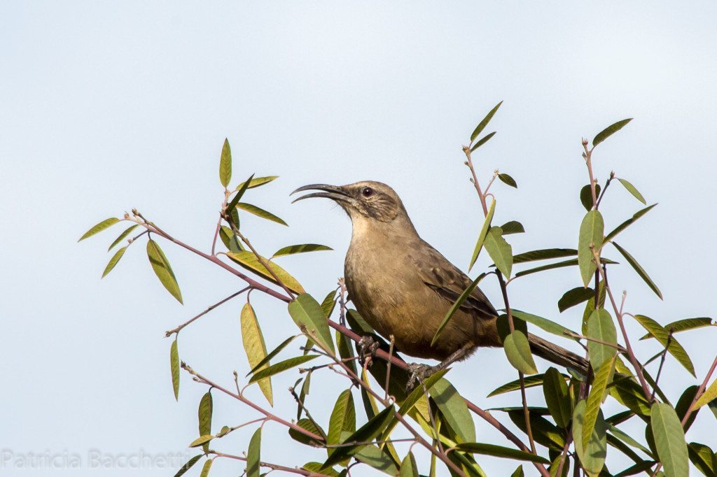 California Thrasher, spotted in Upper Knowland Park. Photo by Pat Bacchetti.