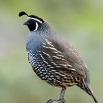 California Quail / Photo by Bob Lewis