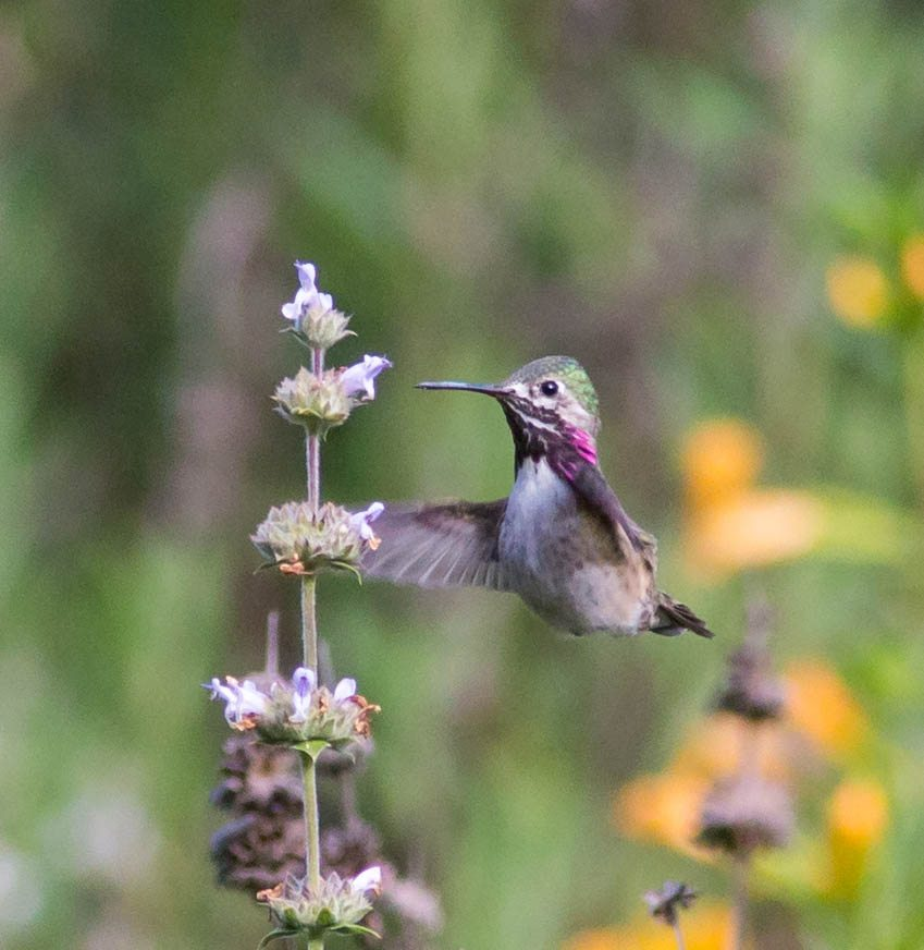 Calliope Hummingbird at Mitchell Canyon, by Larry Hollowood