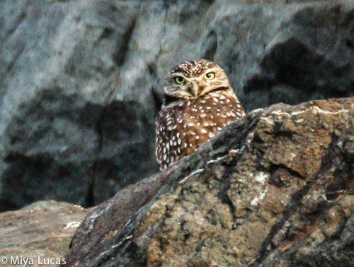 Burrowing Owl in November 2014 by Miya Lucas