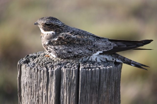 Common Nighthawk by John Tysell