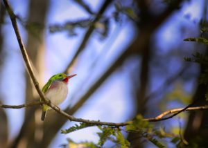 Cuban Tody / Photo by Holbrook Travel