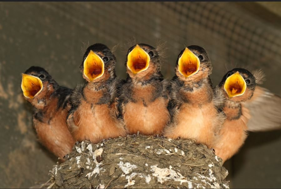 Hatching strategies - when and why? - Golden Gate Audubon