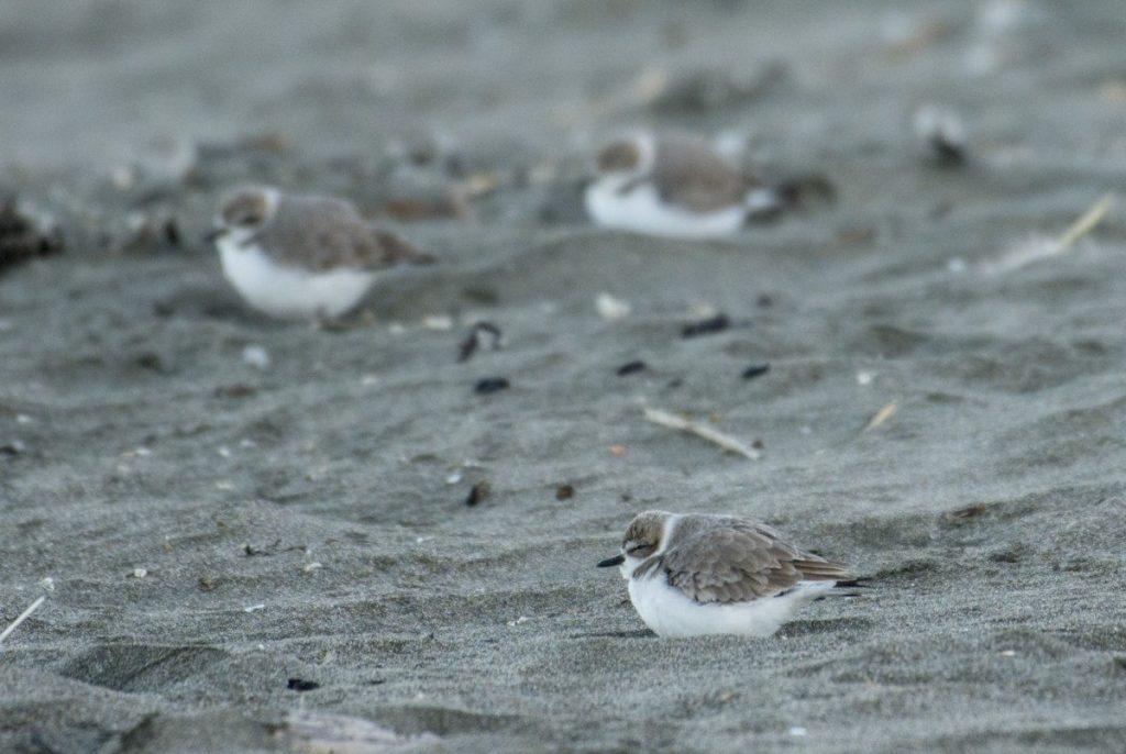 Snowy Plovers at Ocean Beach would benefit from managed retreat
