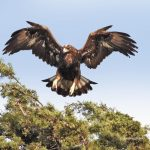 Golden Eagle at Skaggs Island by George Eade