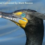 Double-crested_Cormorant_in_breeding_plumage