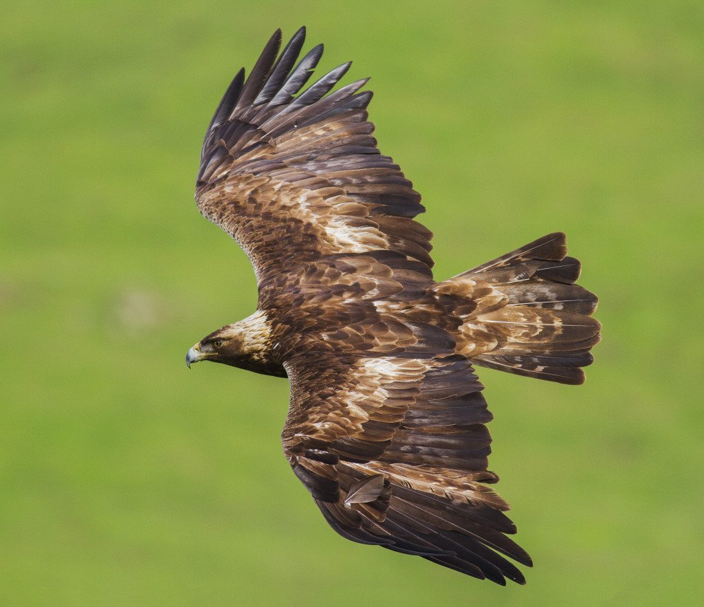 Golden Eagle, one of the species that has suffered the most severe losses at Altamont. Photo by Davor Desancic