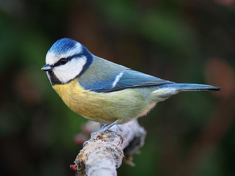 Eurasian Blue Tit / Photo by Francis Franklin/ Wikipedia