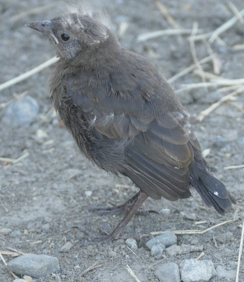Brewer's Blackbird fledgling by Eric Schroeder.
