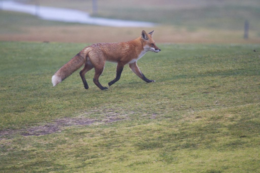 Red fox on the golf course, viewed by the San Leandro Bay count team, by Rick Lewis