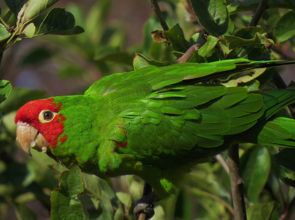 Red-masked Parakeet at Fort Mason / Photo by David Assmann
