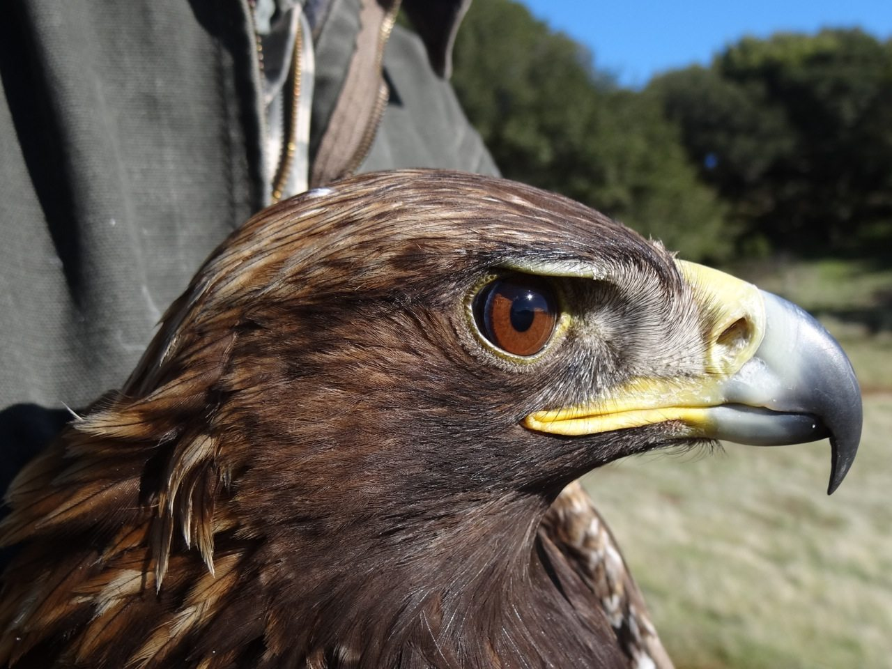 golden eagles of the east bay bayareascience org