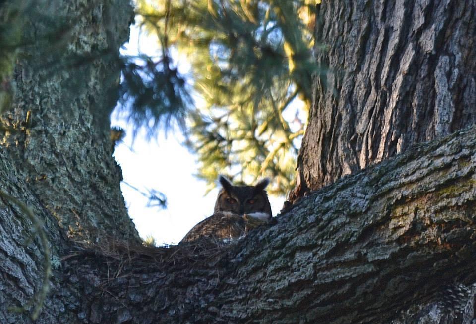 Great Horned Owl in Golden Gate Park / Photo by Caroline Gilchrist Gerling
