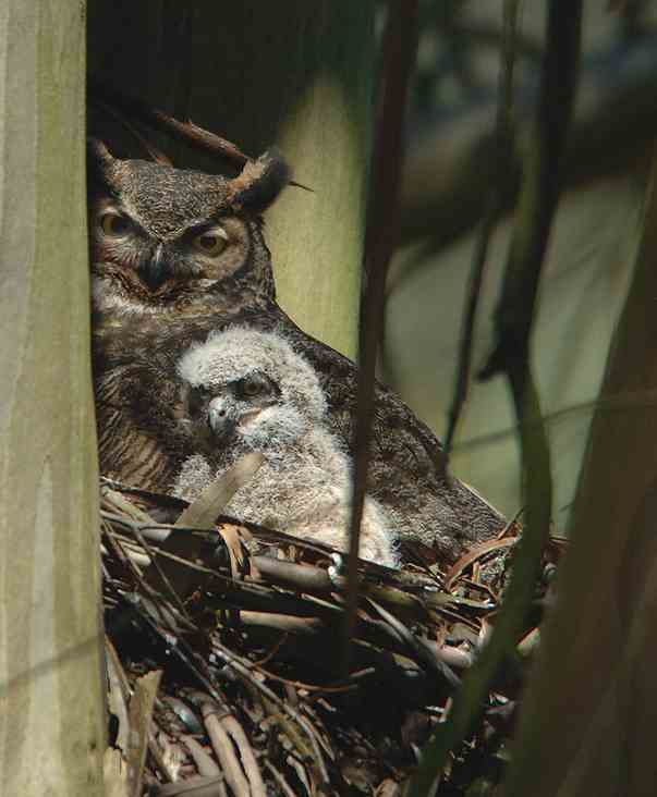 Great Horned Owl and owlet in Glen Canyon Park in 2009, by Eddie Bartley