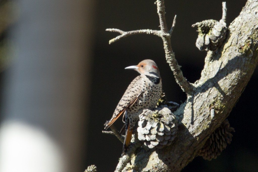 Northern Flicker in Glen Canyon Park, by Dan Harris