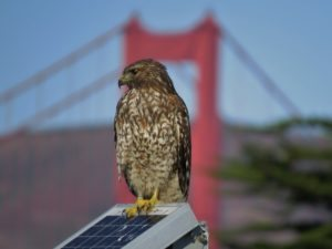Red-shouldered Hawk at Crissy Lagoon