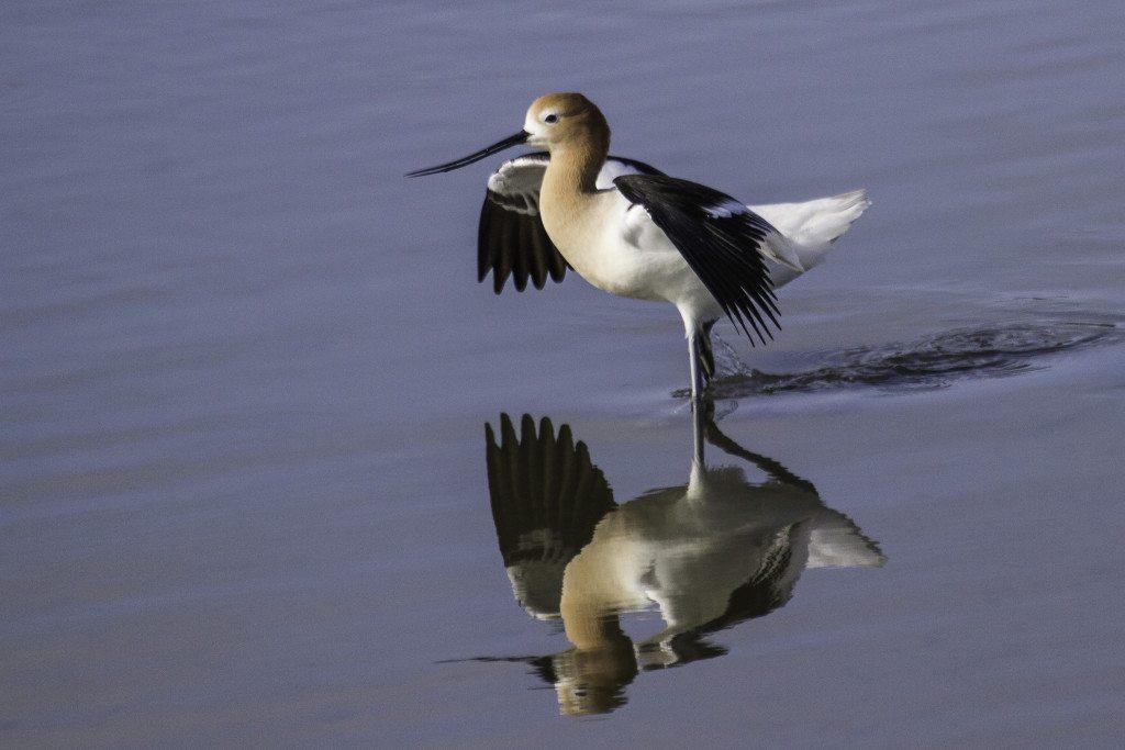 American Avocet at Heron's Head Park / Photo by Bob Gunderson